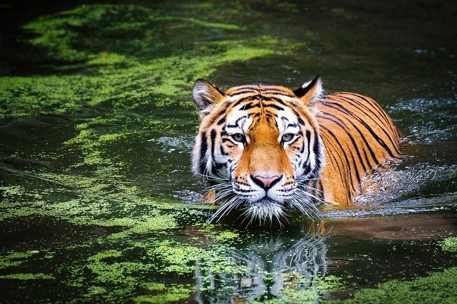 JPEG-format för Tiger-bild